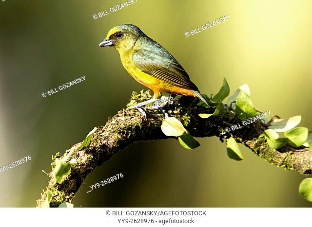 Olive-backed Euphonia (Male) - Boca Tapada, San Carlos, Costa Rica