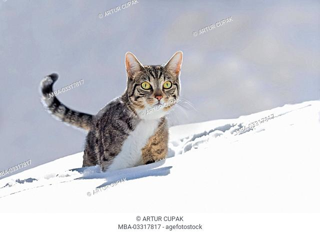 Cats, snow, run, play animal, pet, house cat, EKH, day release prisoner, one, striped, running into space, look view, carefully, curiosity, interest