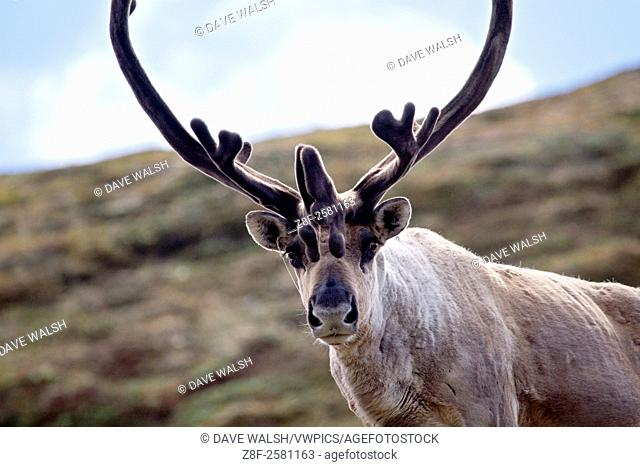 Caribou stags on Polychrome mountain, Denali National Park, Alaska. Reindeer, when living wild in North America, are known as caribou. .