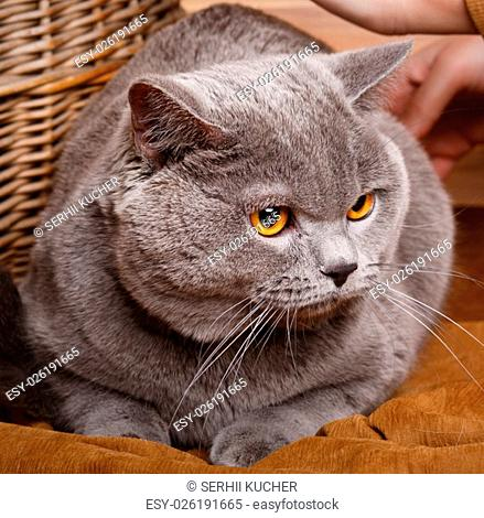 beautiful British Shorthair cat on a wooden background