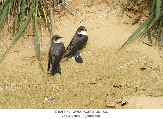Sand Martin / Bank Swallows ( Riparia riparia), pair, just arrived in breeding territory, perched at a sand slope, singing, wildlife, Europe