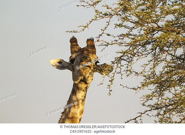 Southern Giraffe (Giraffa giraffa). Female, feeding on the leaves of a camelthorn tree (Acacia erioloba). Kalahari Desert, Kgalagadi Transfrontier Park