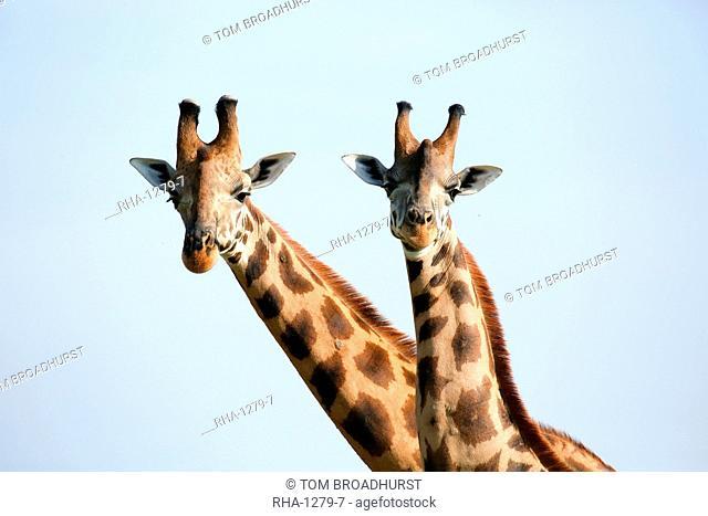 A pair of vulnerable Rothchild giraffe in Uganda's Murchison Falls National Park, Uganda, Africa