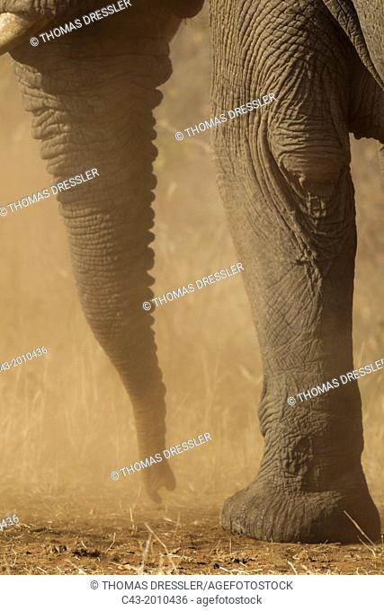 African Elephant (Loxodonta africana) - Close-up of a bull's trunk while he is having a dust bath. Kruger National Park, South Africa