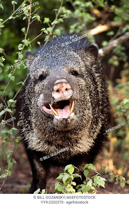 Javelina or Collared Peccary - Camp Lula Sams - Brownsville, Texas USA