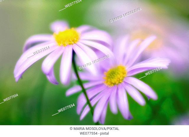 Swan River Daisies. Brachycome iberidifolia. May 2006, Maryland, USA
