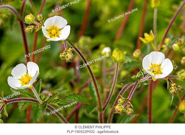 Rock cinquefoil (Drymocallis rupestris / Potentilla rupestris) in flower
