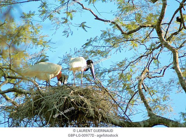 Tuiuiu or Jaburu, Jabiru Stork, Jabiru mycteria, Pantanal, Mato Grosso do Sul, Brazil