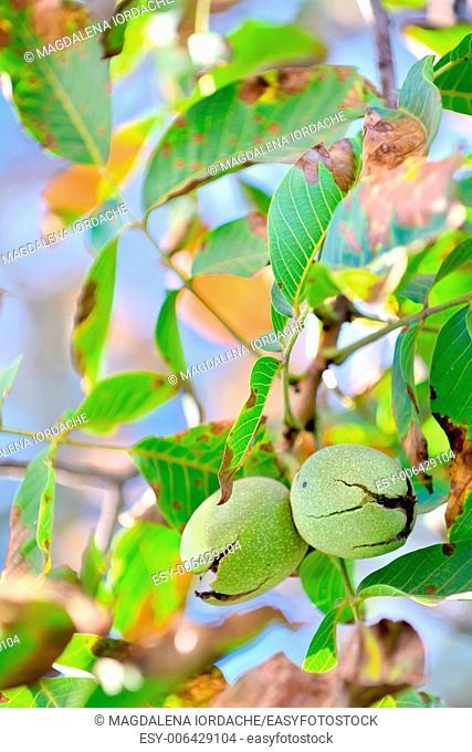 ripe walnut in opened shell