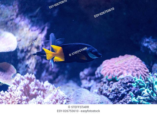 Bicolor Foxface rabbitfish, Siganus uspi, is a black fish with a yellow tail
