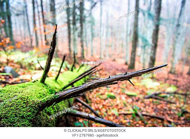 Sassofratino Reserve, Foreste Casentinesi National Park, Badia Prataglia, Tuscany, Italy, Europe. Detail of fallen tree trunk covered with moss
