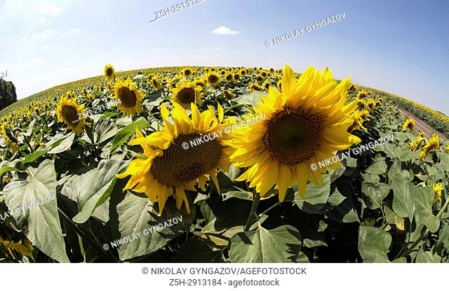 A field of sunflowers against the blue sky