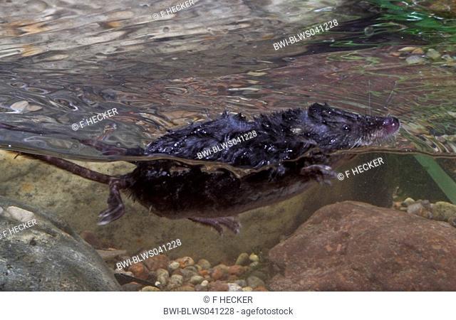 Old World water shrew, Northern Shrew, Eurasian Water Shrew Neomys fodiens, swimming
