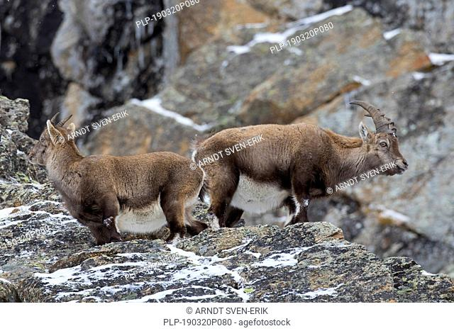 Alpine ibex (Capra ibex) young male and female during the rut in rock face in winter, Gran Paradiso National Park, Italian Alps, Italy