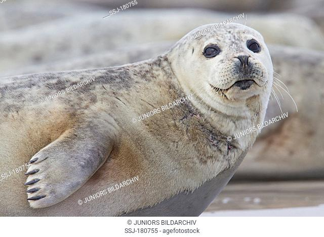 Common Seal, Harbour Seal (Phoca vitulina vitulina), portrait of an adult resting on a beach of the duene, Helgoland, North Sea, Germany