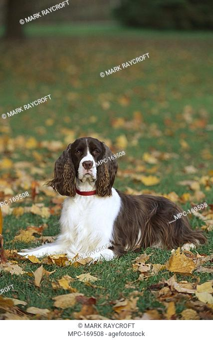 English Springer Spaniel Canis familiaris, laying in fallen autumn leaves