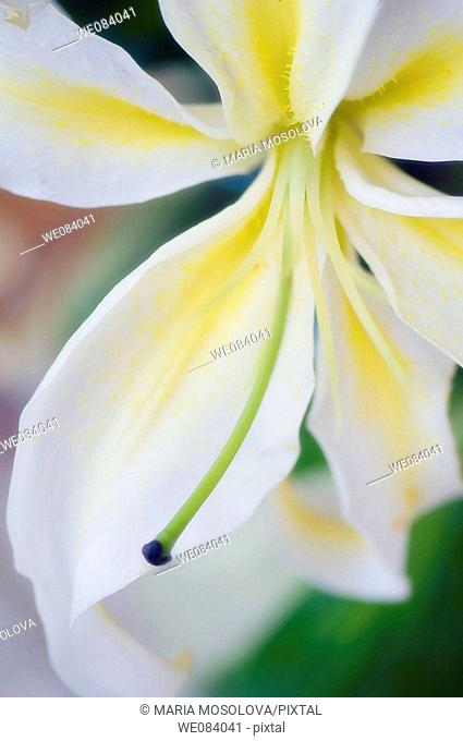 White Oriental Lily Close-up. Lilium orientale