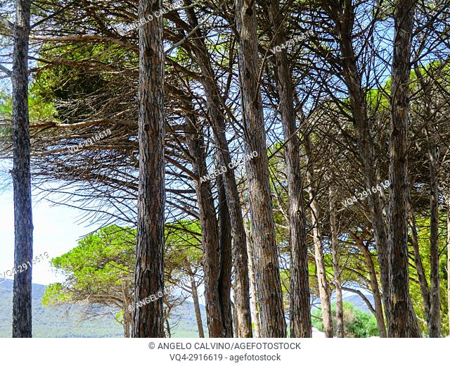 Maritime Pine (pinus pinaster) forested landscape in Sardinia