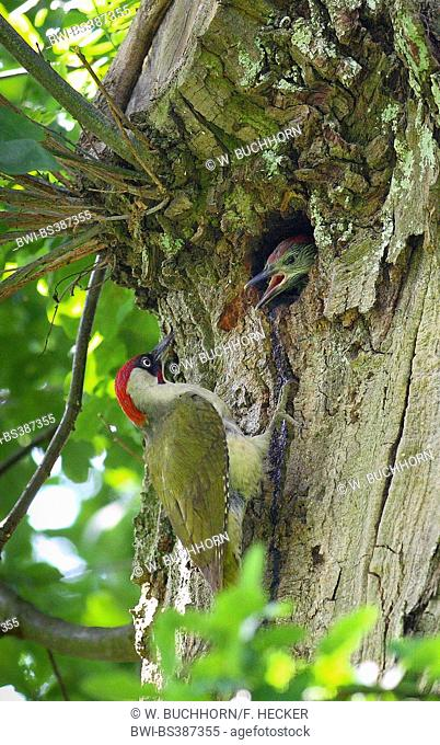 green woodpecker (Picus viridis), male sitting at the woodpecker cavity with begging fledgeling, Germany
