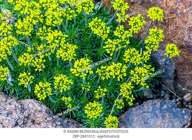 Draba hispanica, in bloom, Early spring