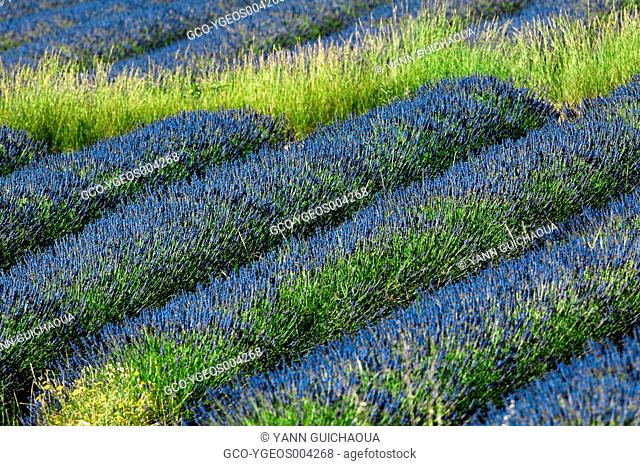 FIELD OF LAVENDER VAUCLUSE PROVENCE FRANCE