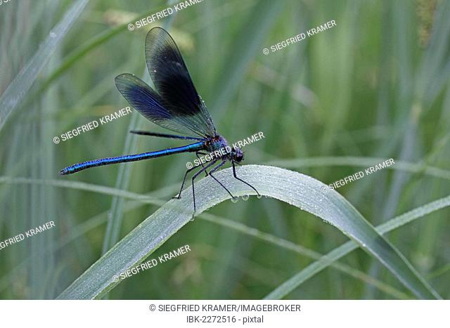 Beautiful Demoiselle (Calopteryx virgo), male, morning dew, on reeds, Ummendorfer Ried, Germany, Europe