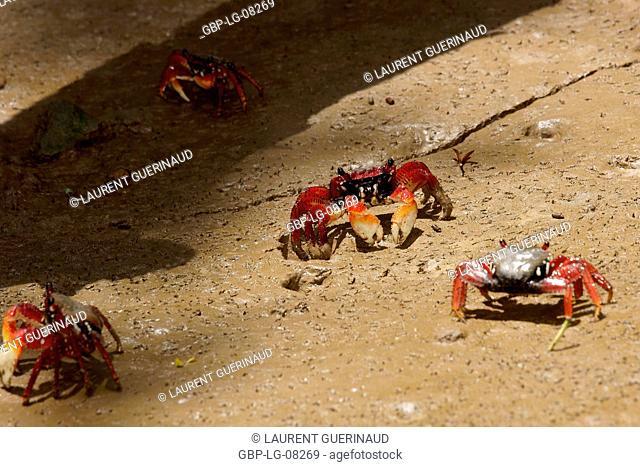 Crab red aratu, Delta Parnaíba, Rio Parnaíba, Parnaíba, Piauí, Brazil