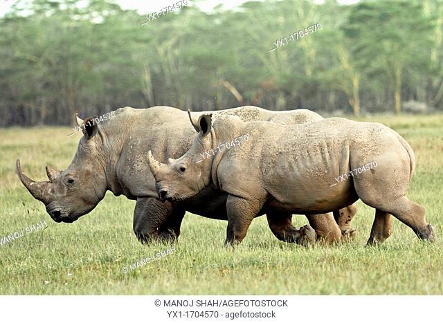White Rhinos walking fast at the Lake Nakuru