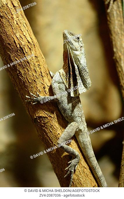Close-up of a frill-necked lizard (Chlamydosaurus kingii) on a tree
