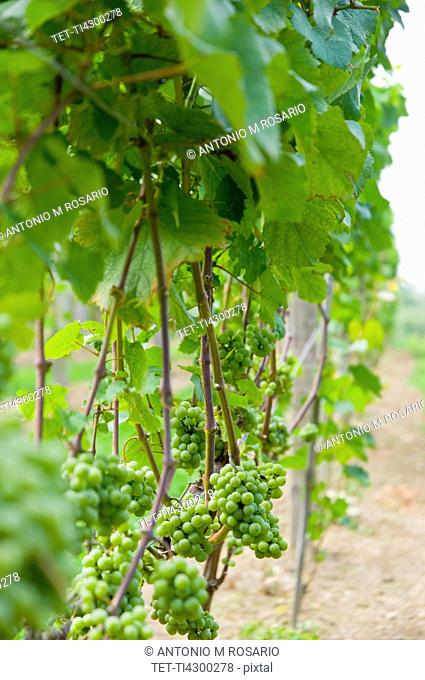 USA, Vermont, Woodstock, Grapes growing in vineyard