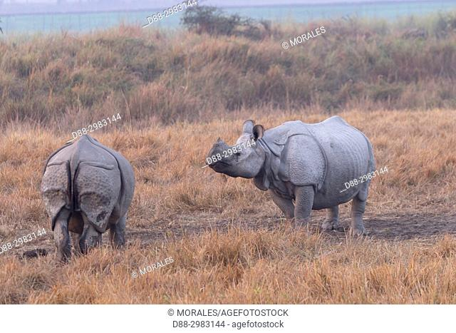 India, State of Assam, Kaziranga National Park, Asian One-horned rhino or Indian Rhinoceros or Greater One-horned Rhinoceros (Rhinoceros unicornis)