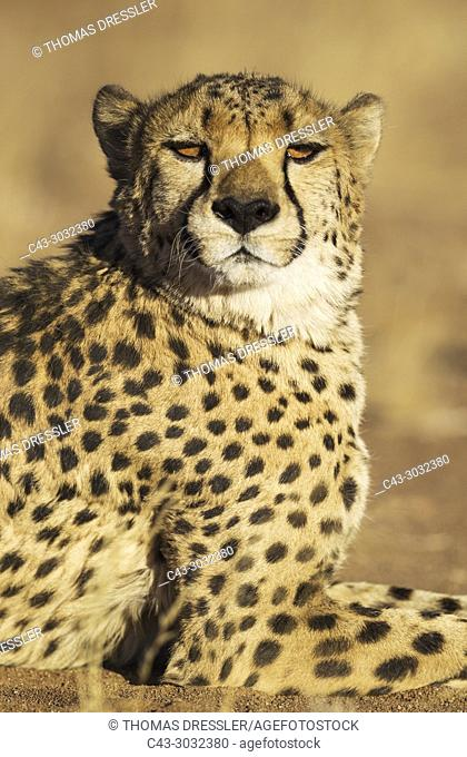 Cheetah (Acinonyx jubatus). Male. Photographed in captivity on a farm. Namibia