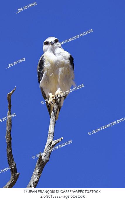 Black-winged kite (Elanus caeruleus) perched on top of a dead tree, against a blue sky, Kgalagadi Transfrontier Park, Northern Cape, South Africa, Africa