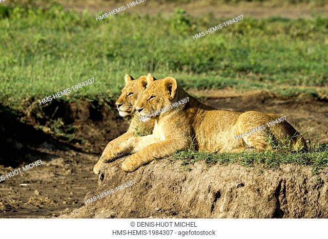 Tanzanie, Ngorongoro national park, lion (Panthera leo), big cubs