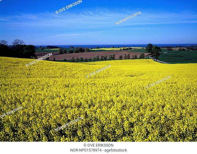 Sweden - High angle view of crop growing in a mustard field