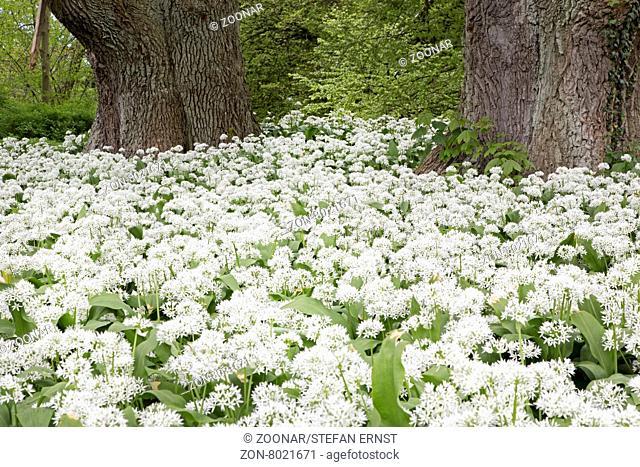 Blühender Bärlauch (Allium ursinum), Putbus, Rügen, Deutschland, Europa