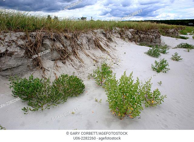 Sea rocket and other plants on the sand of a beach beside a sand dune