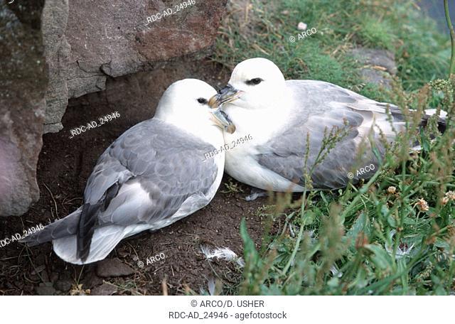 Northern Fulmar pair at nest Scotland Fulmarus glacialis