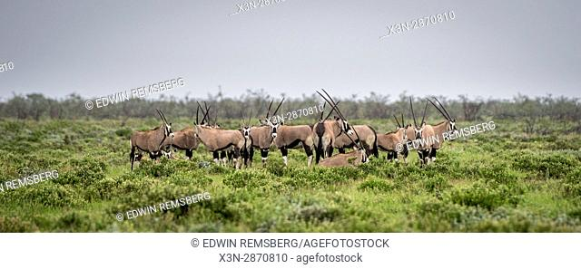Gemsbok antelope grazing at Etosha National Park, located in Namibia, Africa