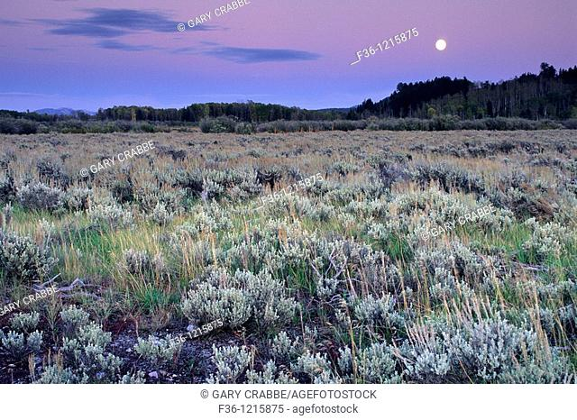 Harvest moon rises at sunset over Aspen and Pine trees, Grand Teton Nat'l  Pk , WYOMING