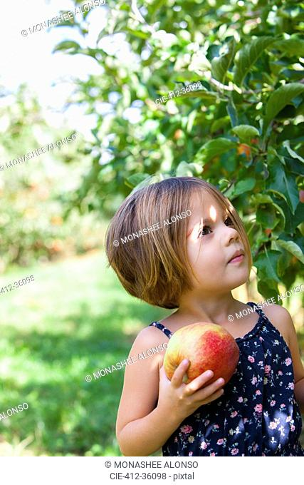 Curious girl picking apple in orchard