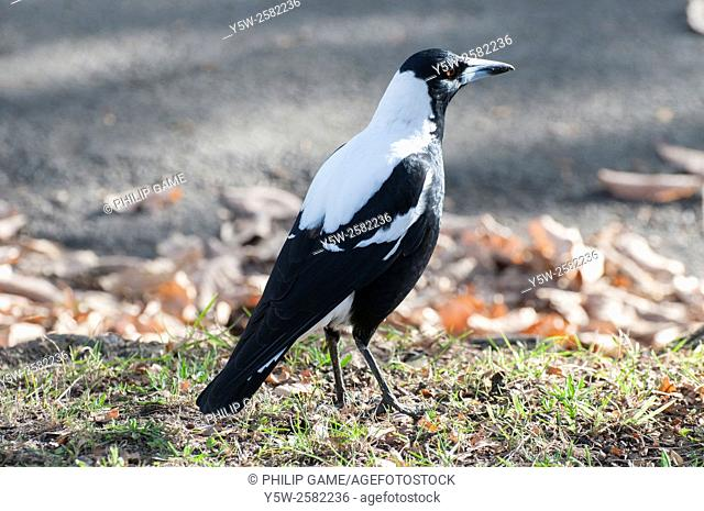 Common Australian magpie browsing in a suburban street, Melbourne. The magpie's melodious chorus often heralds sunrise in southeastern Australia
