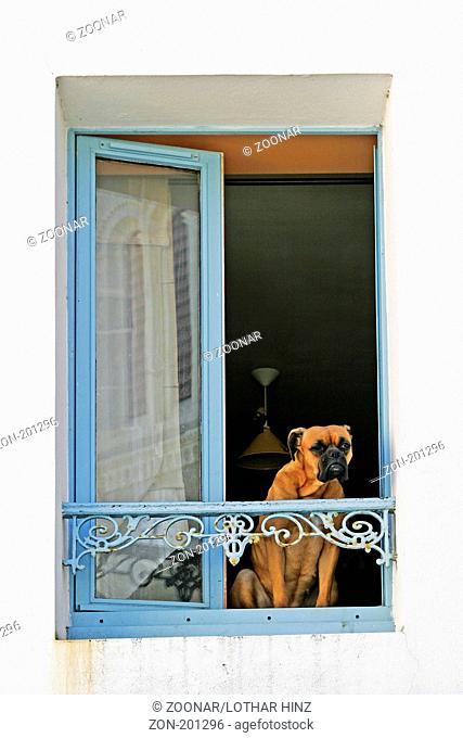 Belle-Ile, Sauzon, Hund am Fenster