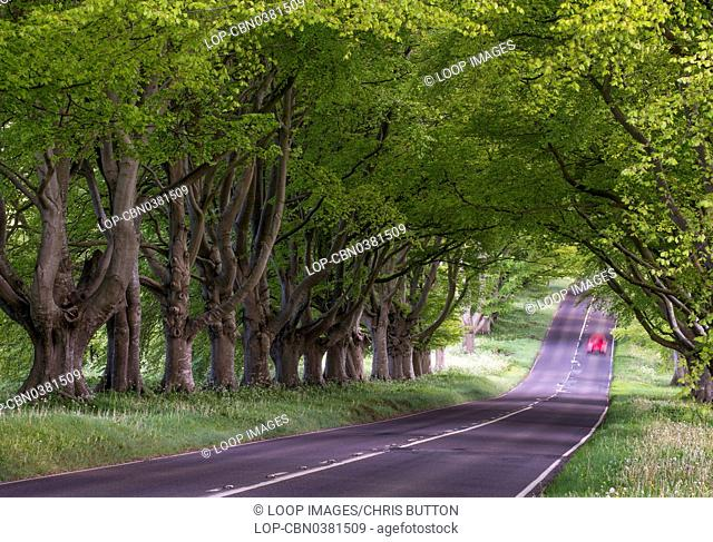 A view of beech trees at Kingston Lacy