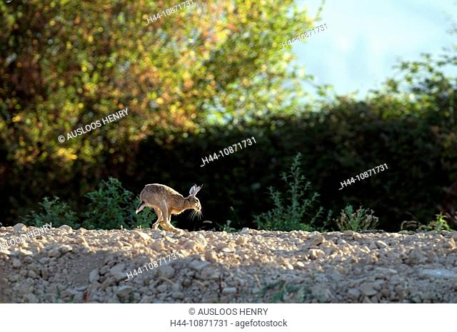 Feldhase, Lepus europaeus