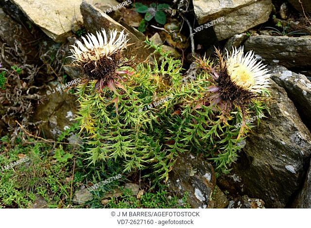 Stemless carline thistle (Carlina acaulis) is perennial plant native to alpine regions of central and southern Europe. The spiny leaves grow in a basal rosette