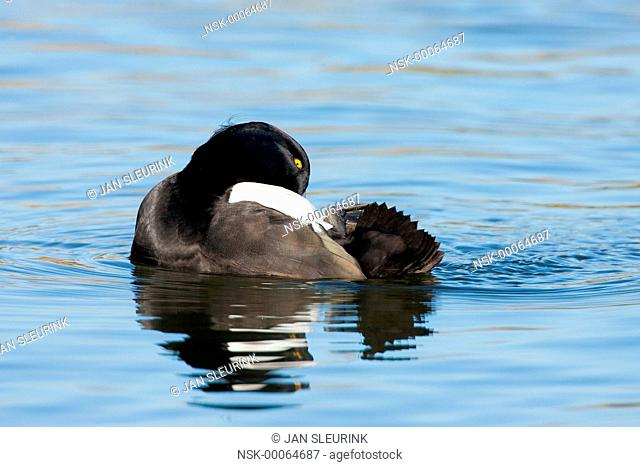Tufted Duck (Aythya fuligula) male preening on the water, The Netherlands, Flevoland, Horsterwold