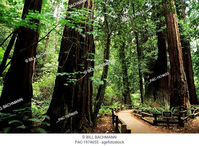 California, Muir Woods National Monument, Path Leading Through Redwood Grove