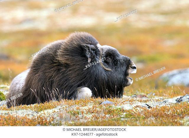 Muskox (Ovibos moschatus), Cow, Dovrefjell-Sunndalsfjella National Park, Norway, Scandinavia, Europe, Autumn, Fall