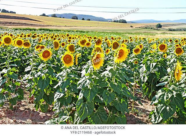 Field of sunflowers in Cuenca province Castile Spain